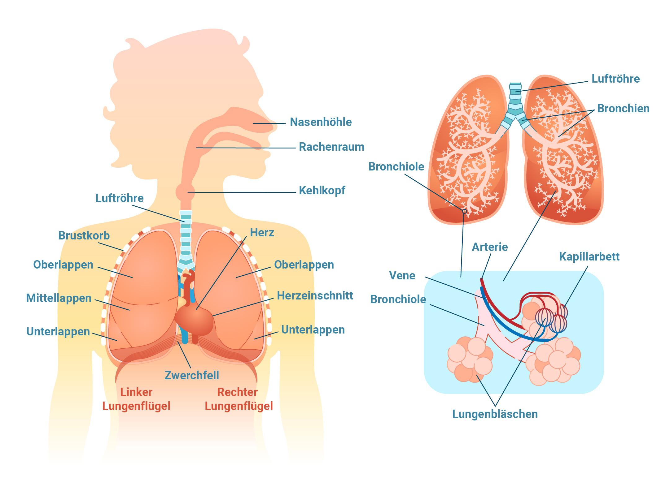 Anatomische Grafik der an der äußeren Atmung beteiligten Organe und Körperteile