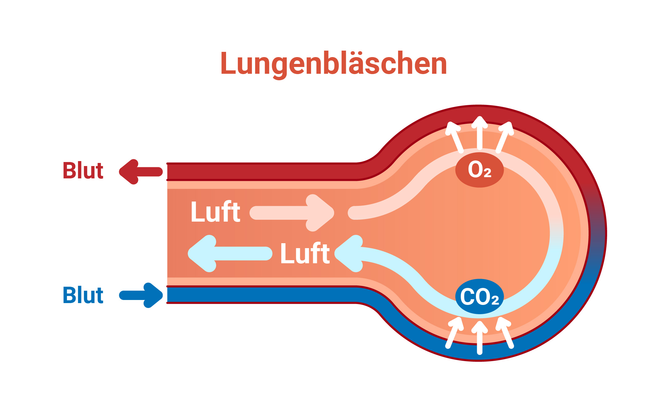 Grafische Darstellung der Abgabe von CO2 und Aufnahmen von O2 durch den Gasaustausch von Blut und Luft im Lungenbläschen.