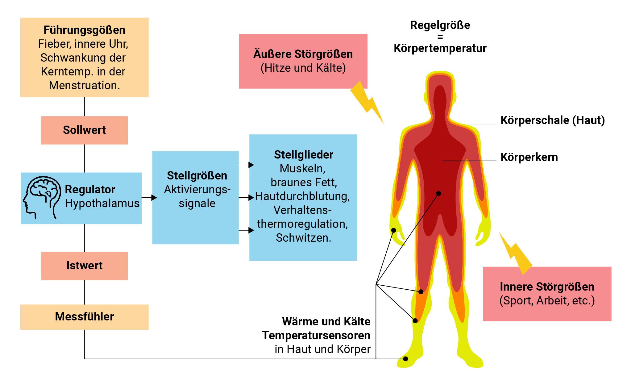 Darstellung, wie die Körpertemperatur beeinflusst, erkannt und reguliert wird.