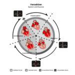 Infografik über den Herzzyklus mit allen Phasen der Diastole und Systole.