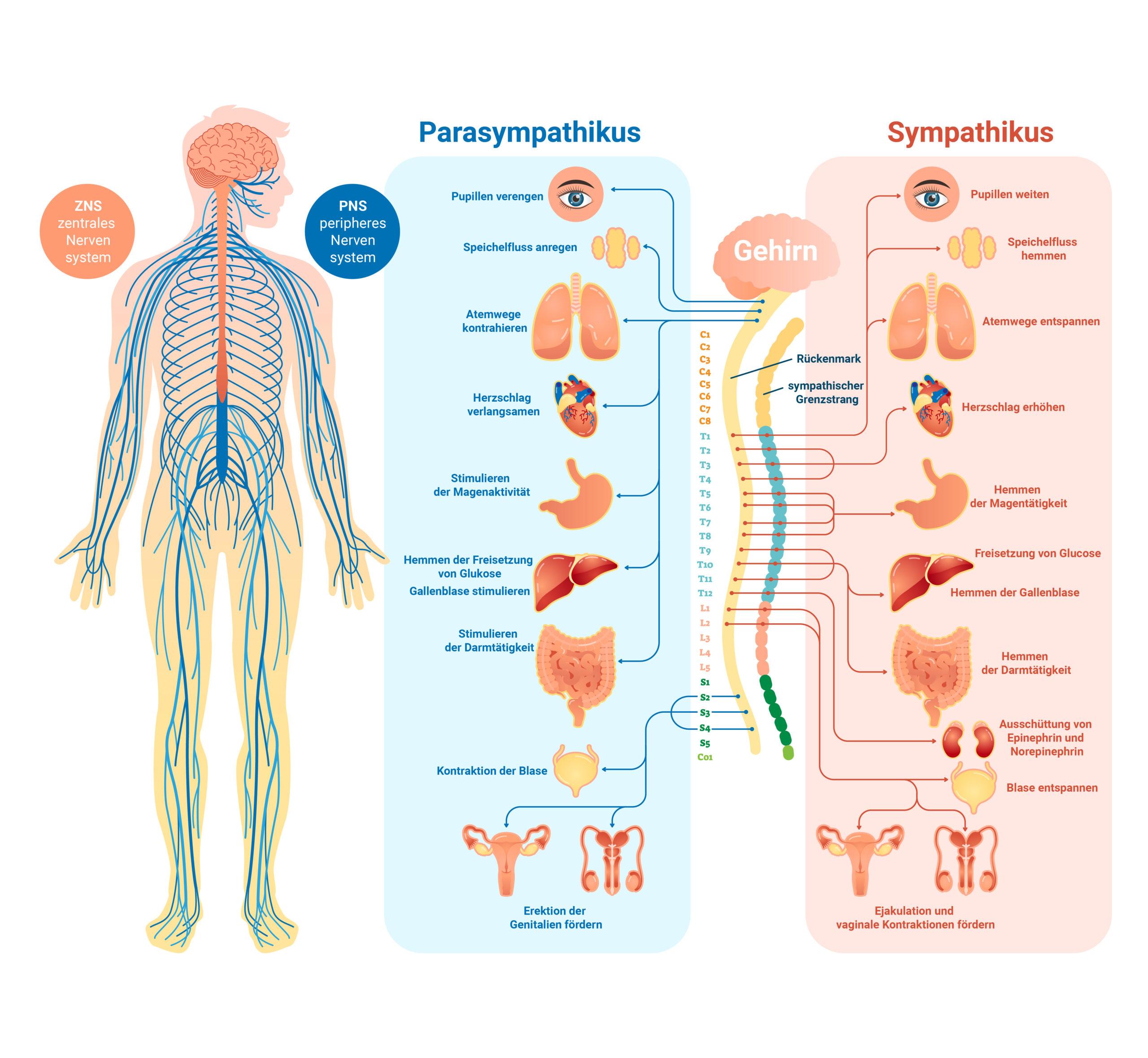 Medizinische Darstellung des menschlichen Nervensystems mit Parasympathikus und Sympathikus.