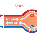 Graphical representation of the release of CO2 and uptake of O2 by the gas exchange of blood and air in the alveoli.