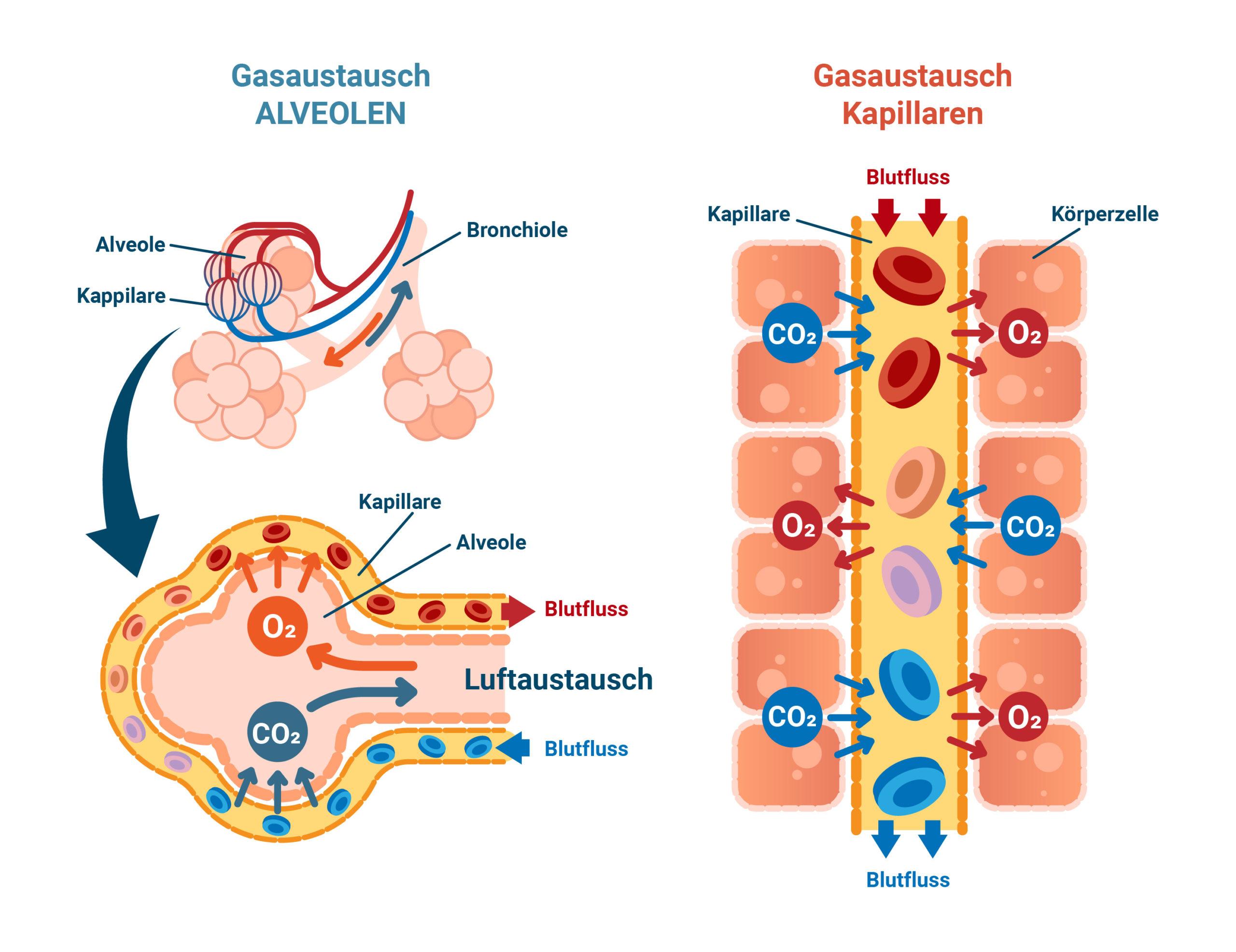 Vereinfachte Darstellung des Austauschs von Sauerstoff aus der Lunge ins Blut.