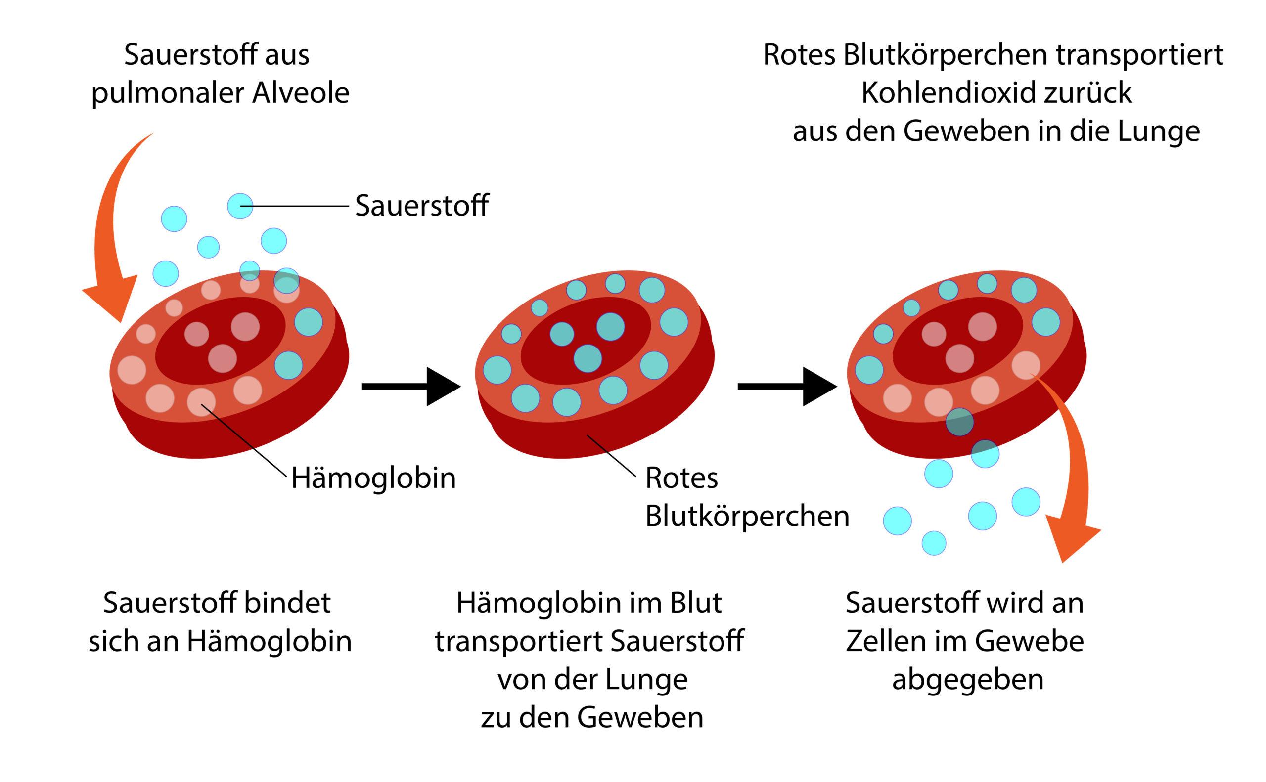 Vereinfachte Darstellung der Be- und Entladung eines Hämoglobins mit Sauerstoff.
