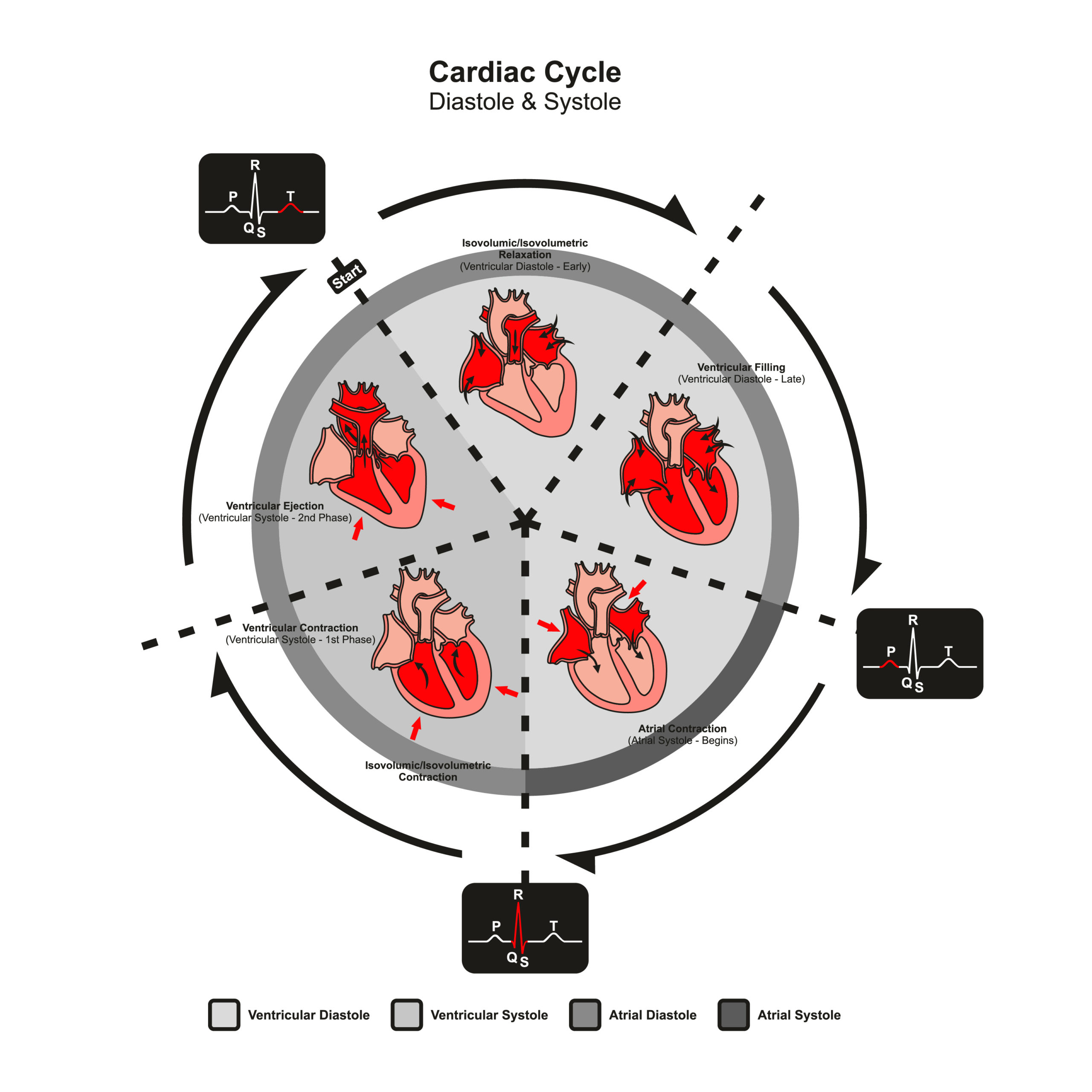 Infographic about the cardiac cycle with all phases of diastole and systole.