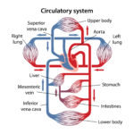 Schematic representation of the human circulatory system