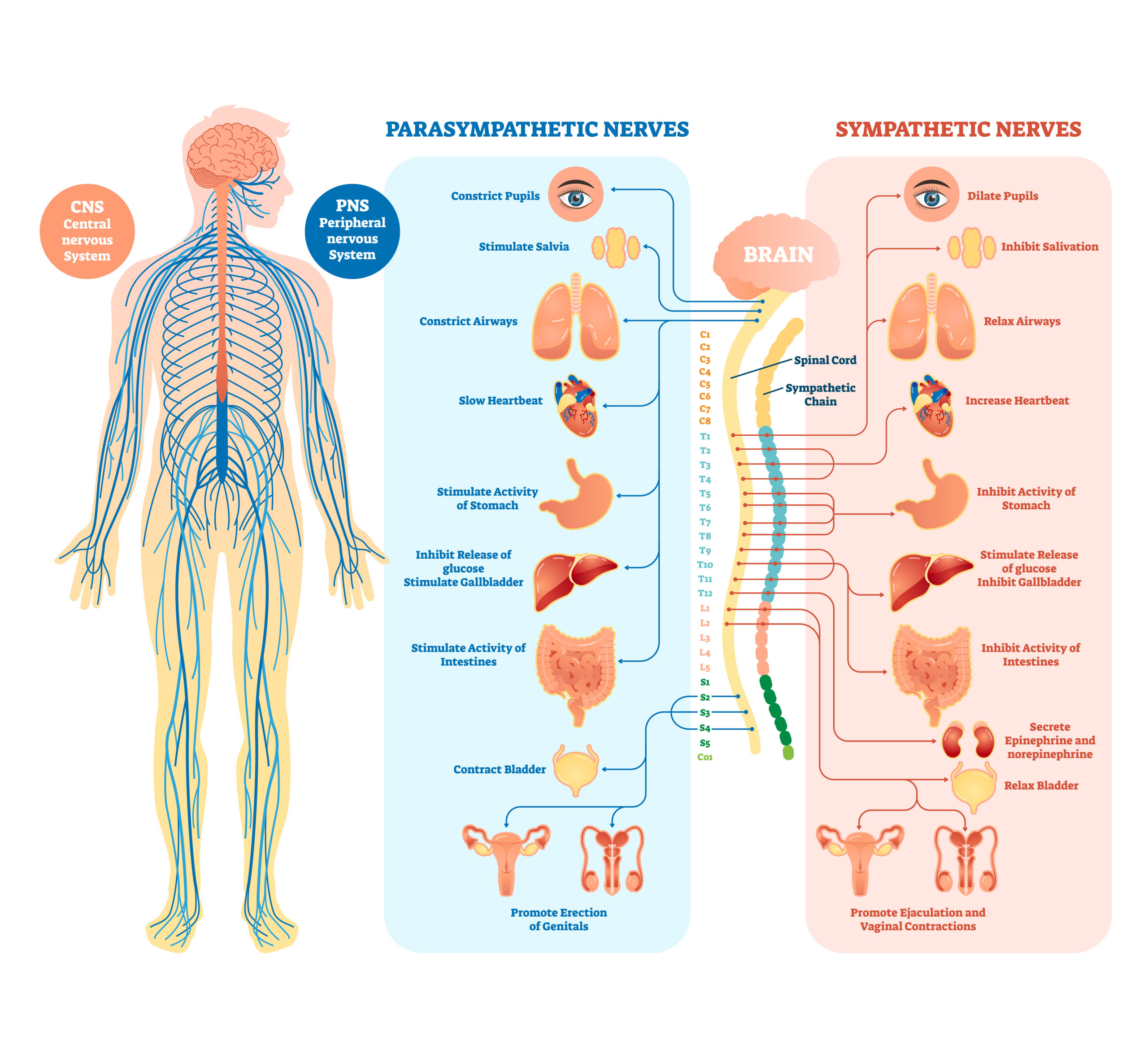 Medical diagram of the human nervous system with parasympathetic and sympathetic nerves.