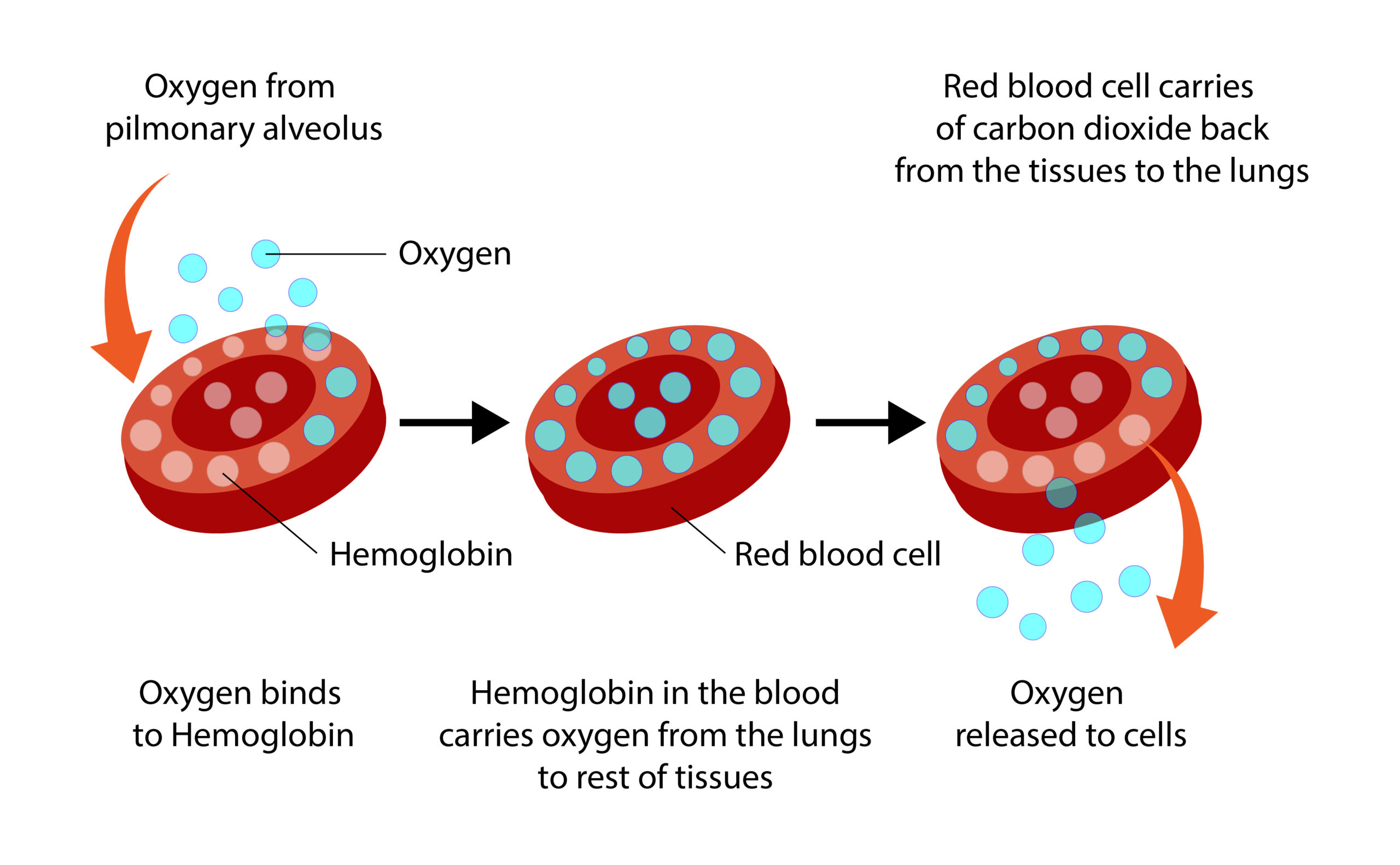 Simplified representation of the loading and unloading of a hemoglobin with oxygen.